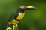 collared aracari, costa rica, toucan, aracari, bill,