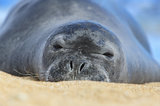 Hawaiian monk seal, hawaii, kauai, monk seal, endangered, rare, critically endangered, population,