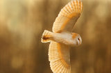 barn owl, hertfordshire, england, United kingdom
