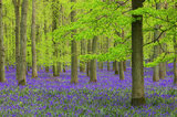 bluebells, blue bells, flowers, purple, england, uk