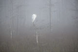 great egret, big cypress national preserve, dwarf, egret, fog,