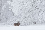 white tailed deer, deer, snow, wisconsin,