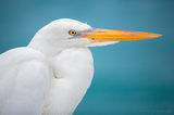 great egret, florida keys, key west, florida, portrait, aqua, blue, water