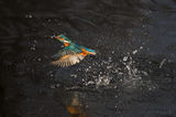 kingfisher, fishing, eurasian, common, fish, catching, catch, water, splash, river ver, united kingdom