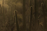 saguaro, cactus, cacti, arizona, sonoran, silhouette, arm, desert, light, sunset, evening,