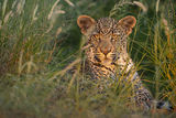 leopard, cub, baby, eyes, south africa, kruger, africa, safari, wildlife, big 5, cat