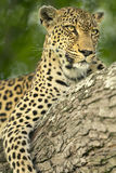 leopard, nthombi, africa, south africa, big 5, safari,