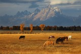 horses, horse, grand teton, grand, tetons, grand teton national park, wyoming, wy, mountains, rockies, jackson hole,