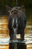cow moose, moose, grand teton national park, wyoming, wy, water, pond, female, deer, vertical