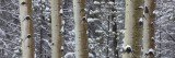 silent, snow, aspens, trees, aspen, trunks, rocky mountain national park, colorado, co, winter, snowy, wintery, forest