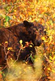 glance, american black bear, black bear, bear, bears, tetons, grand teton national park, teton, wyoming, autumn, leaves,