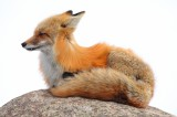 white out, red fox, fox, snow, vulpes vulpes, breckenridge, colorado, co, kits, vixen, high key,