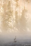 great blue heron, heron, yellowstone national park, wyoming, yellowstone, bird, fog, firehole river