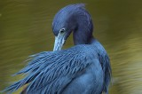 little blue heron, little, blue, heron, blue heron, ding darling national wildlife refuge, ding darling, sanibel island,