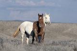 colorado, wild horse, mustang, free roaming, horse, wild,