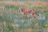 0035, lazy days, lazy, days, coyote, coyotes, canis latrans, canis, latrans, rocky mountain national park, rocky, mounta