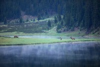 bull elk, bull, elk, rocky mountain national park, colorado, rocky mountain, lake, fog,