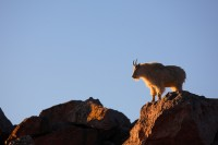 mountain goat, mountain, goat, mt evans, mt. evans, mount evans, evans, fourteener, summit,