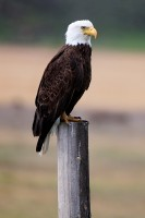 bald eagle, eagle, eagles, jackson, wyoming, jackson hole,