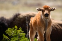 american bison, bison, buffalo, baby, yellowstone national park, wyoming, yellowstone, young, babies,