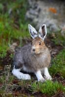 snowshoe hare, hare, snowshoe, snow shoe, snow, bunny, rabbit, hares, rabbits, bunnies, mt. evans, colorado. mount evans