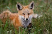 0154, little red fox, little, red, fox, foxes, vulpes vulpes, vulpes, breckenridge colorado, breckenridge, colorado, pup