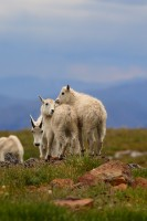 mountain goat, goat, goats, mountain, mt evans, colorado, mount evans, evans, mt., kids, babies, baby