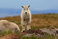 mountain goat, mountain goats, goat, goats, mt evans, mt. evans, mount evans, evans, colorado,