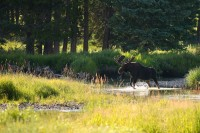 bull moose, moose, bull, rocky mountain national park, colorado river, colorado, river, kawuneeche valley,