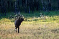 bull elk, bull, elk, bugle, bugling, rocky mountain national park, colorado, rocky mountain, fall, autumn,