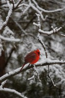 male northern cardinal, northern cardinal, cardinal, red, snow, winter, snowy, wisconsin