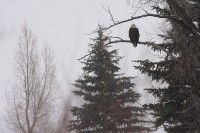 bald eagle, summit county, colorado, blue river, snowstorm, blizzard, winter,