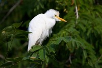 cattle egret, egret, egrets, st. john, virgin islands, st johns, virgin islands, saint,