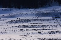 yellowstone national park, wyoming, yellowstone, national, park, 0302, lone druid wolf, lone, druid, wolf, wolves, grey