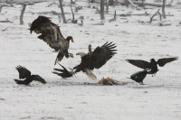 bald eagle, eagle, eagles, Yellowstone national park wyoming, yellowstone, snow, raven ravens
