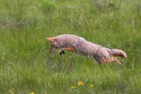0330, prairie pounce, prairie, pounce, coyote, canis latrans, canis, latrans, rocky mountain national park, rocky, mount