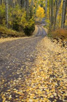 road, uncompahgre national forest, uncompahgre, aspen leaves, aspen trees, aspen, aspens, autumn, fall,