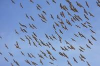 sandhill cranes, sandhill, sand hill, crane, cranes, san luis valley, colorado, sky,