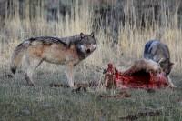 yellowstone national park, wyoming, yellowstone, national, park, 0404, the balance, the, balance, grey wolves, grey, wol