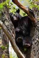 american black bear, american black bears, black bear, black bears, bear, bears, ursus americanus, breckenridge colorado