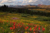 shrine ridge, shrine, ridge, vail, colorado, wildlflowers, wild, flowers, wild flowers, gore range,