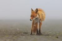 0429, clamdigger, clam, digger, red fox, red, fox, vulpes vulpes, vulpes, katmai national park alaska, katmai, national,