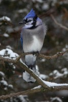 blue jay, wisconsin, snowy, snow, winter, wind,
