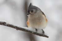 tufted titmouse, titmice, tit, tit mouse, titmouse, tit mice, wisconsin, snow, forest, wi, blizzard, branch, winter