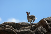 bunny, rabbit, mt evans, hop,