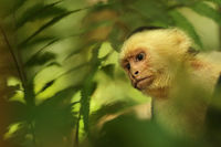 white, faced, monkey, capuchin, costa, rica, manuel, antonio, national, park,