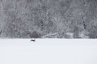 wisconsin, wonderland, white tailed deer, deer, erin, wisconsin, snow, black an white, beautiful