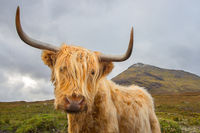scottish, scotland, isle of skye, skye, highland cattle, highland cow, coo, fur, scottish highlands,