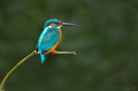 kingfisher, england, uk, st albans, river ver, common, king, fisher, bird