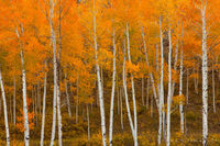 aspen trees, trunks, colorado, uncompahgre, co, san juans, autumn, fall